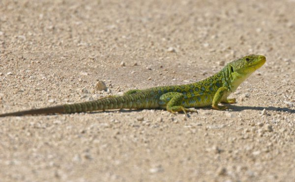 Ocellated-Lizard